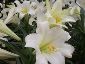 Lilium-longiflorum-Easter-lily